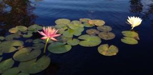 lily pads lori